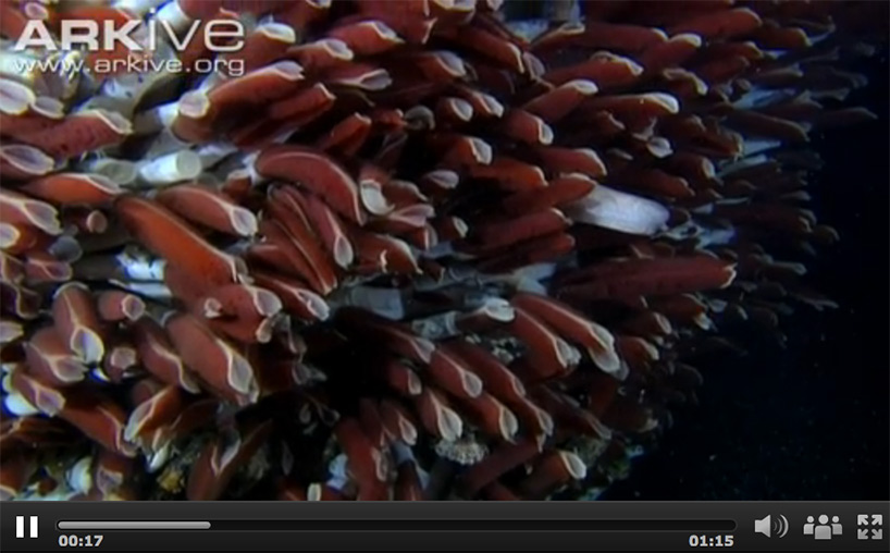 screenshot from arkive.org video about tubeworms