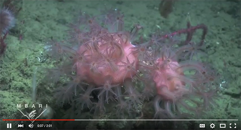 screen shot of Davidson Seamount video