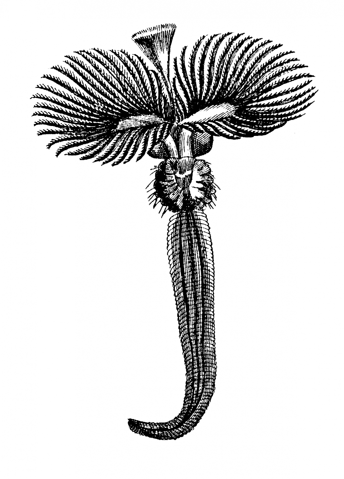 Stubeworm drawing