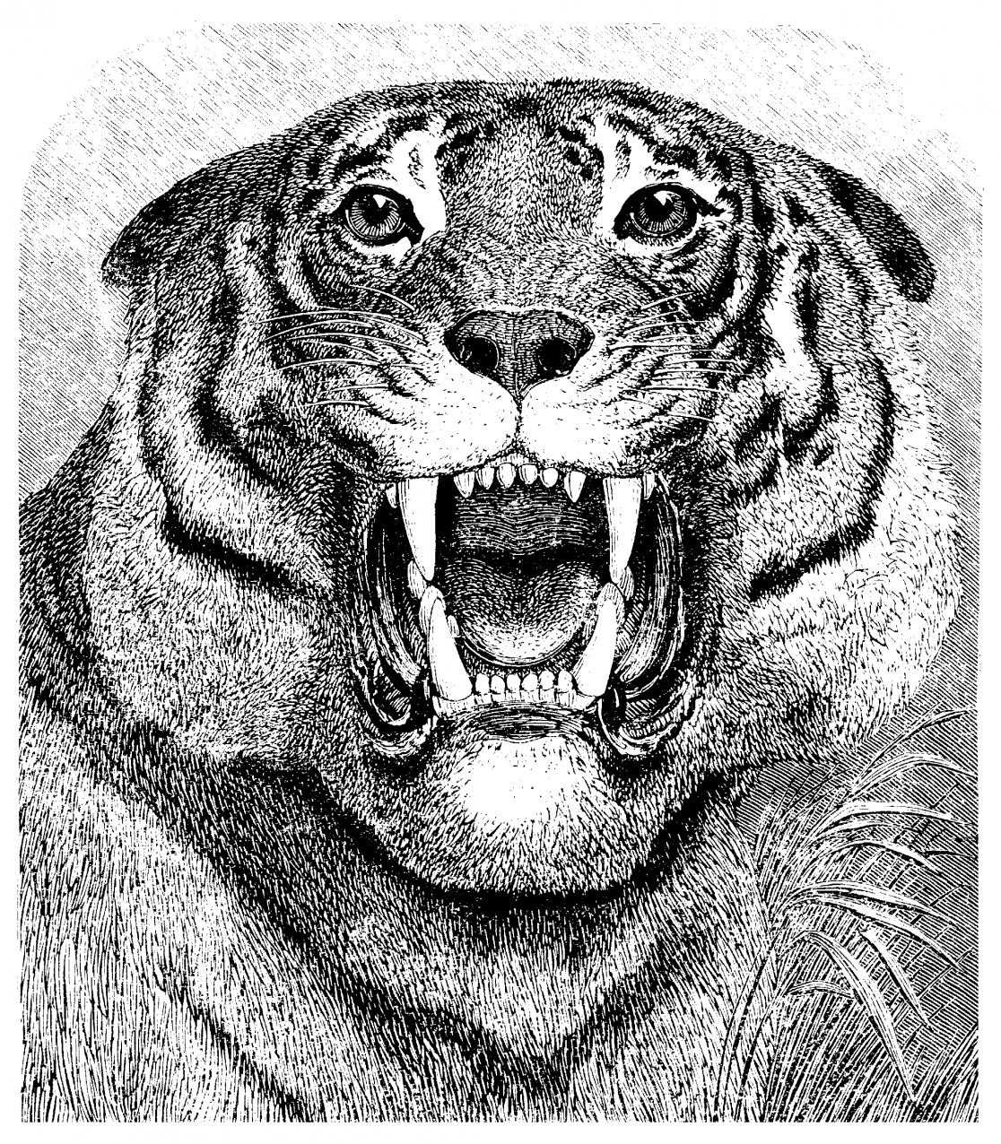 drawing of a bilateral tiger