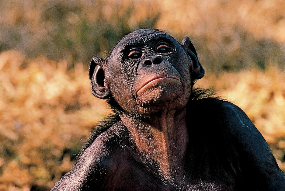 photo of bonobo