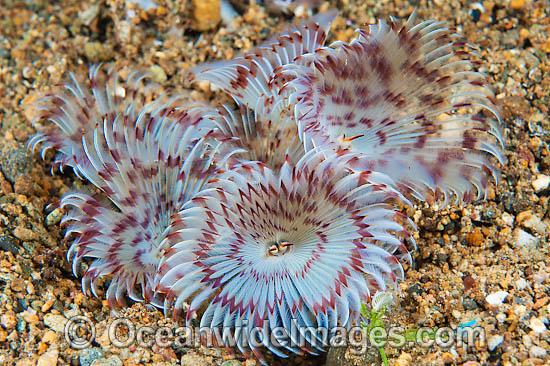 Feather duster tubeworm