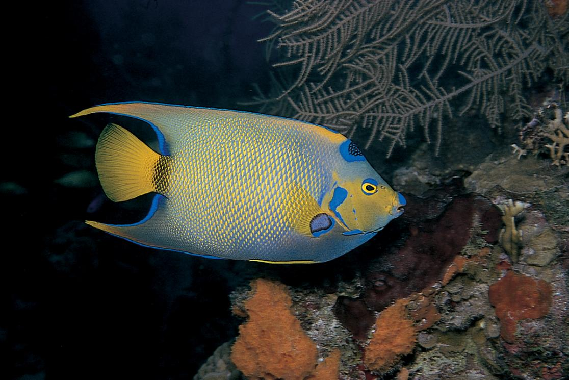 photo of queen angel fish