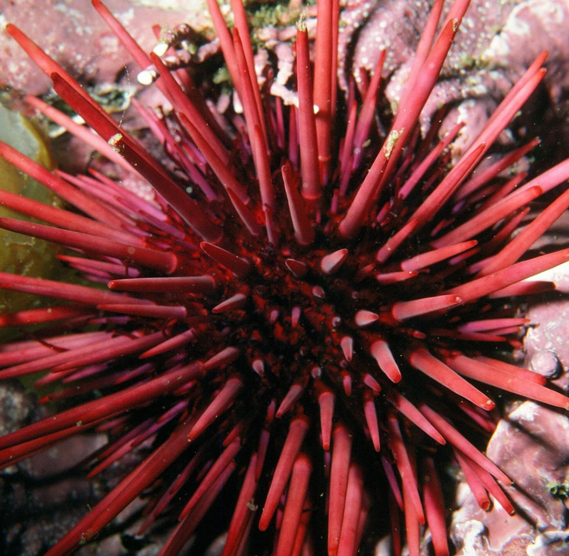 photo of a red urchin
