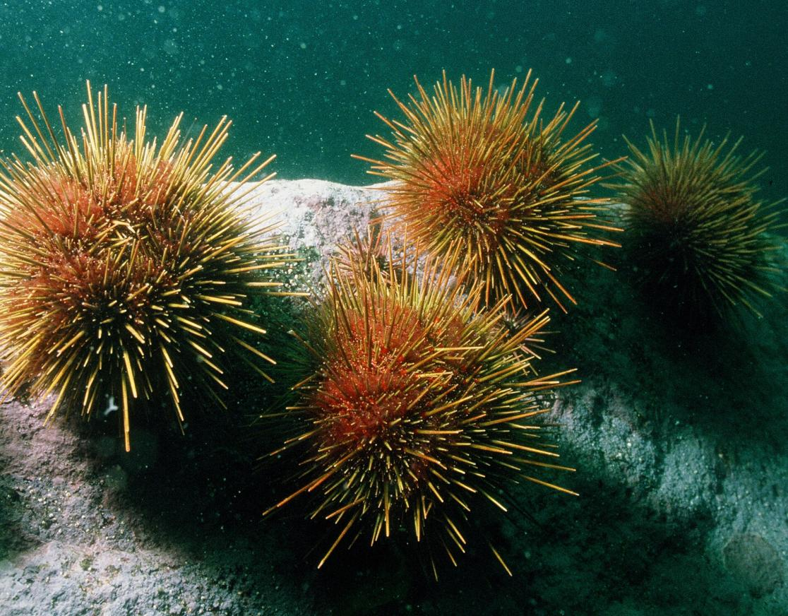 photo of urchins