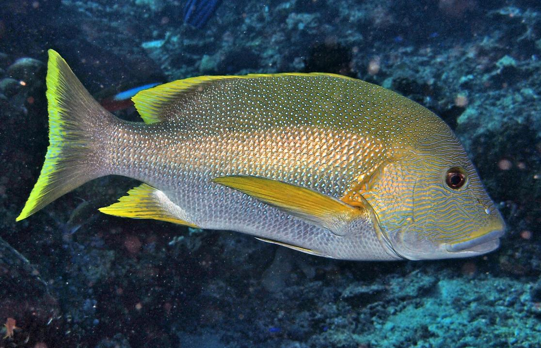 photo of yellowfish