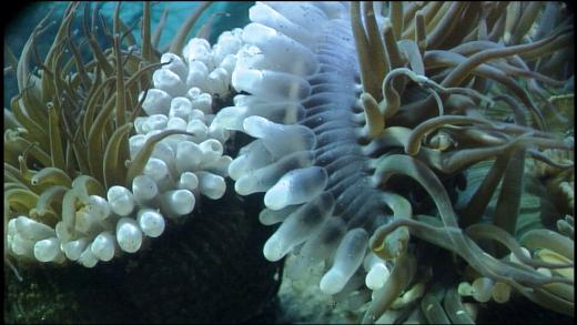 fighting Anemones