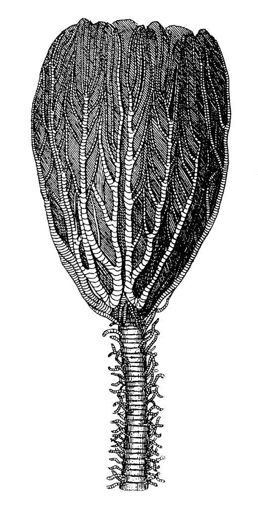 Crinoid Fossil Drawing