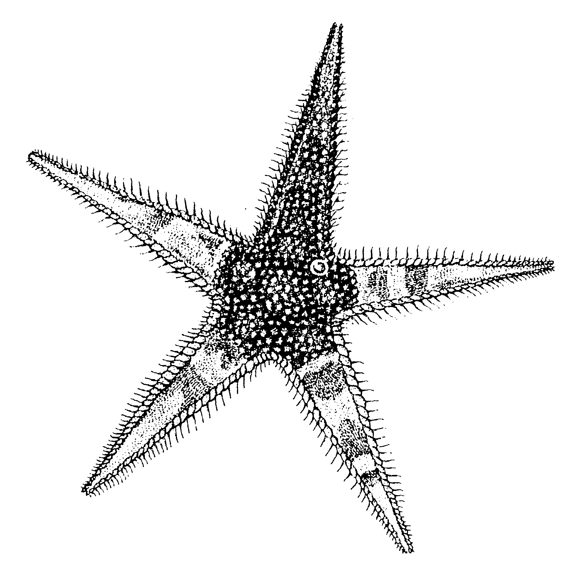 how to draw a star in javascript
